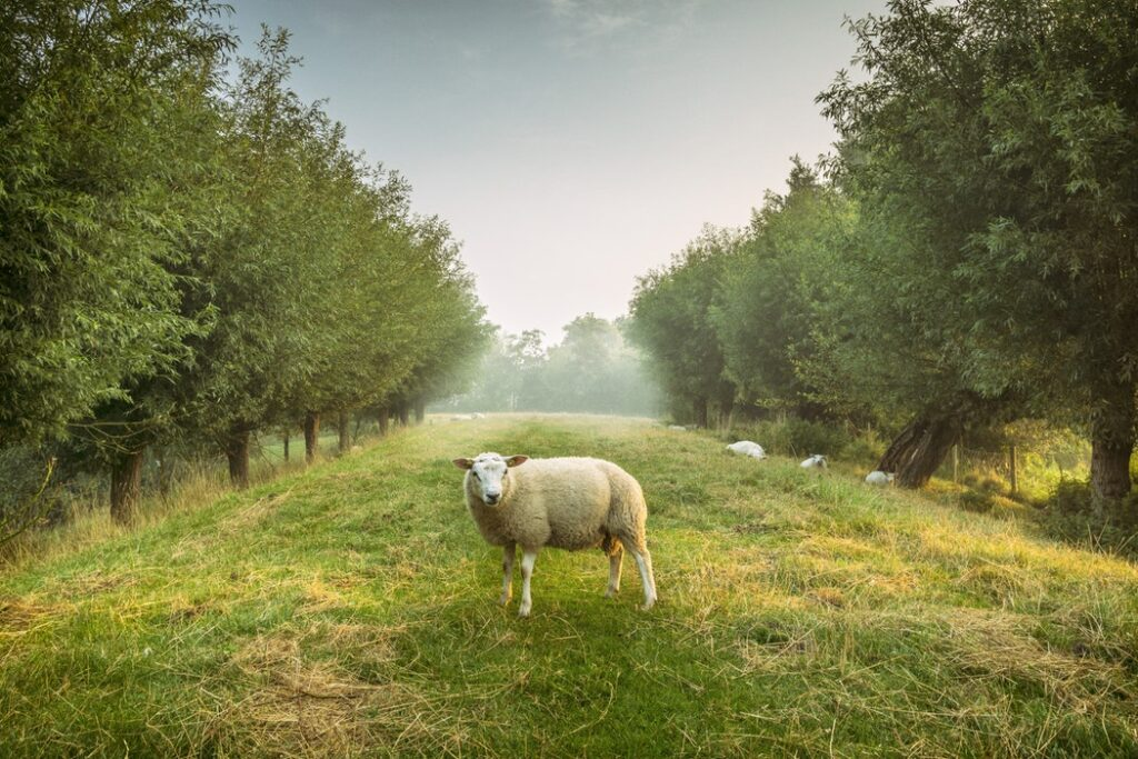 sheep agroforestry silvopasture system